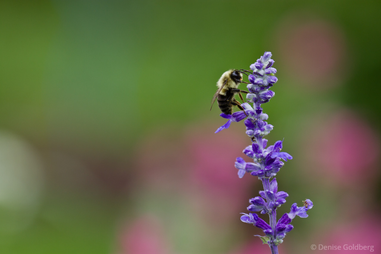 bee feeding, purple flower
