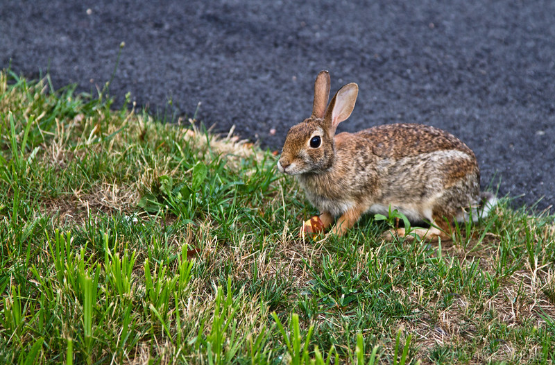 little rabbit, looking at me looking at him