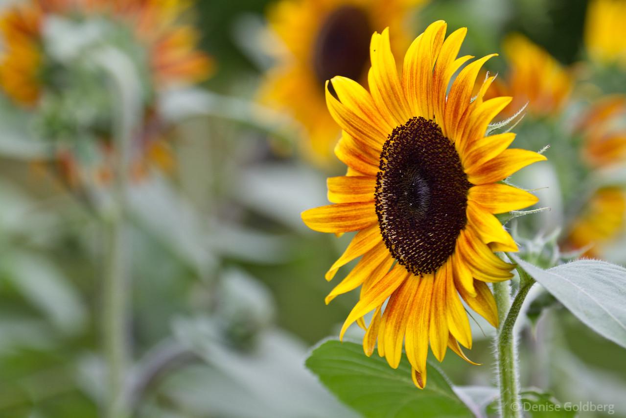 sunshine in petals