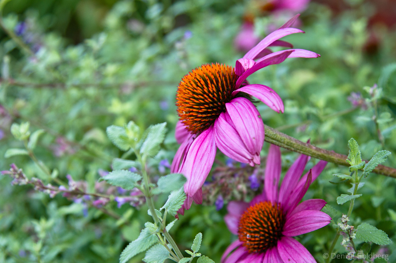 late summer coneflowers in bright colors