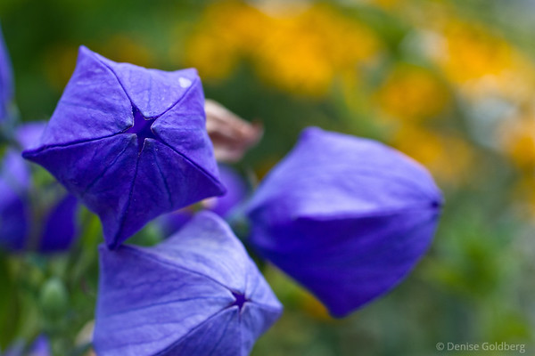 purple balloon flowers