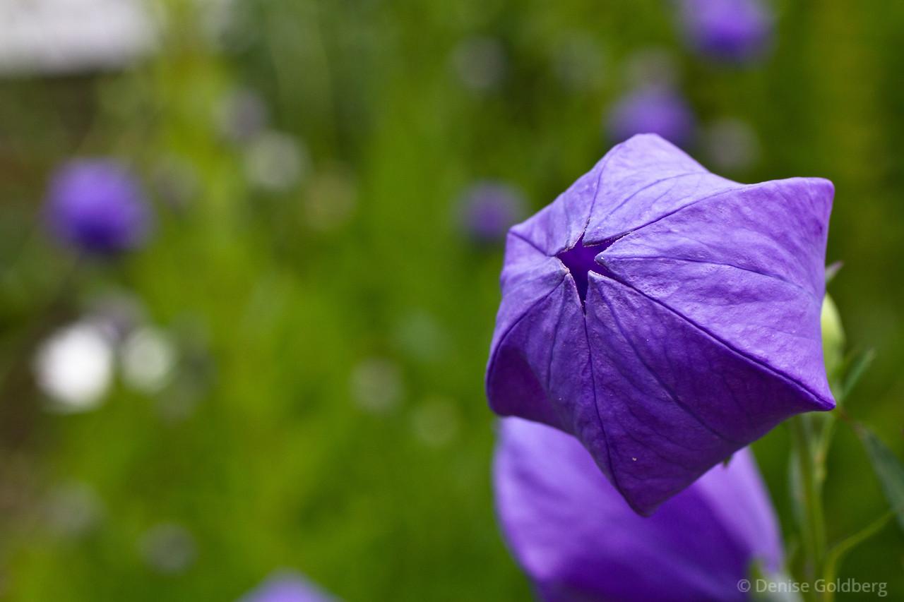 purple balloon flowers