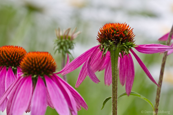 coneflowers (echinacea) in pink