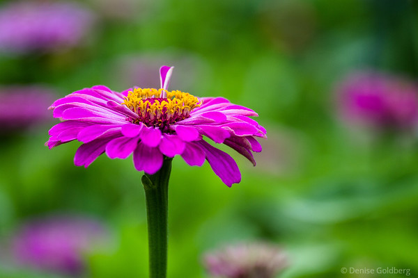 summer flower in bright pink