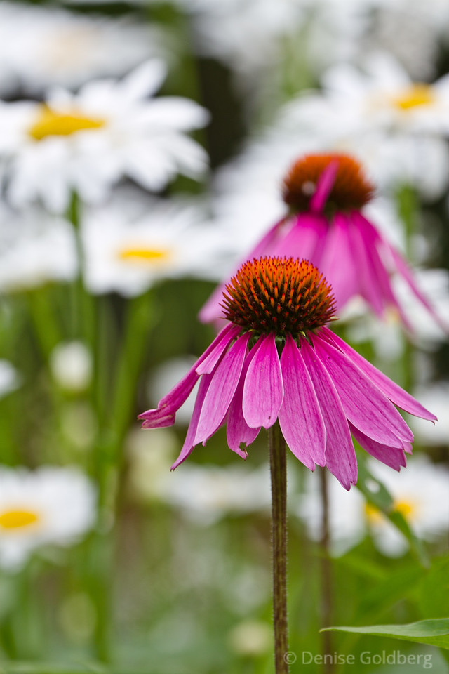 pink echinacea against a background of daisies