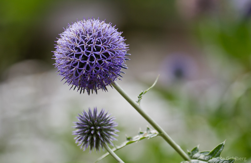 spiky, lavender, allium