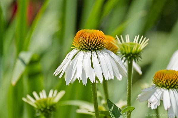 echinacea (coneflowers) in white