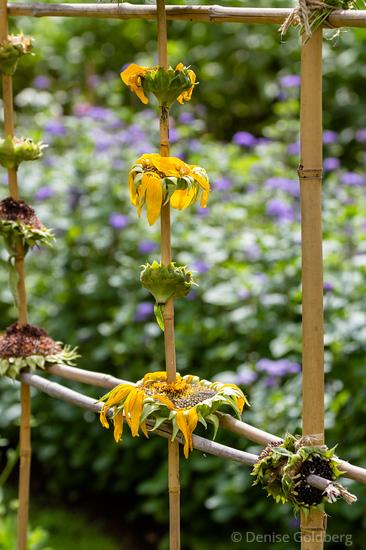 sunflowers as a bird feeder