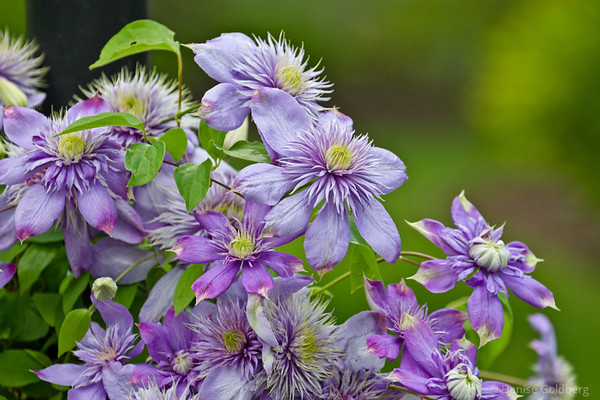clematis in lavender