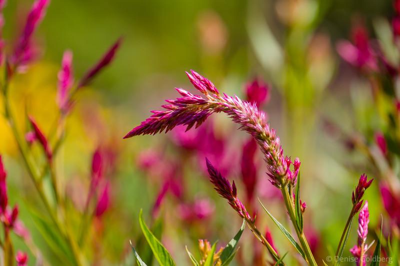 bright pink, ornamental grass