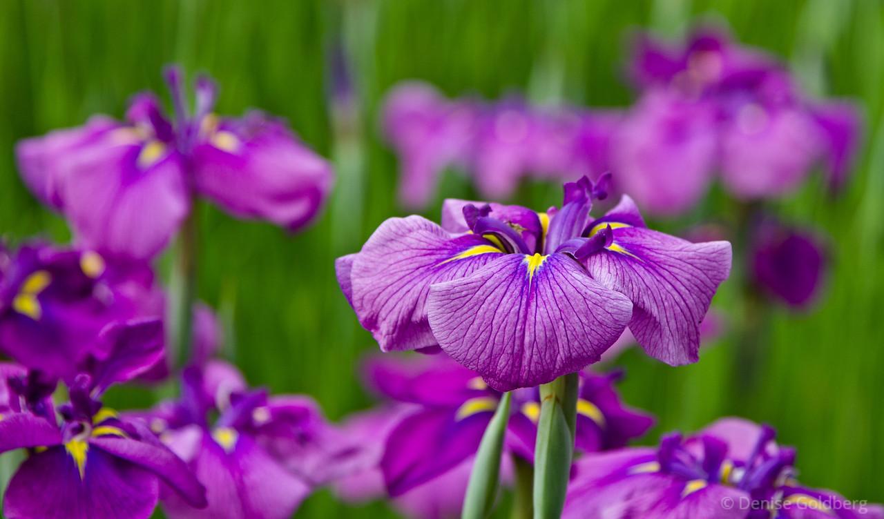 Japanese iris in purple