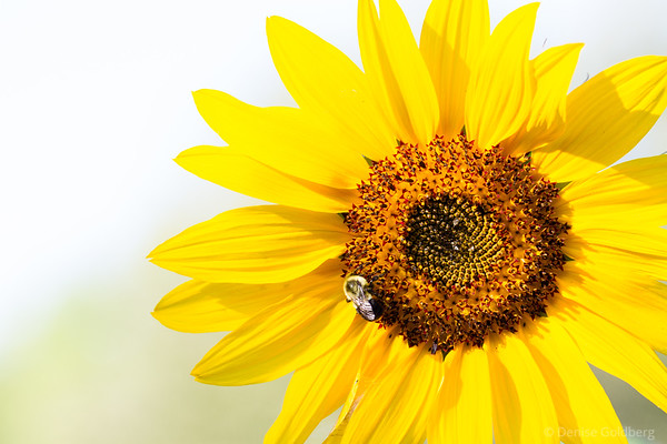 a sunflower, a bee, and bright light