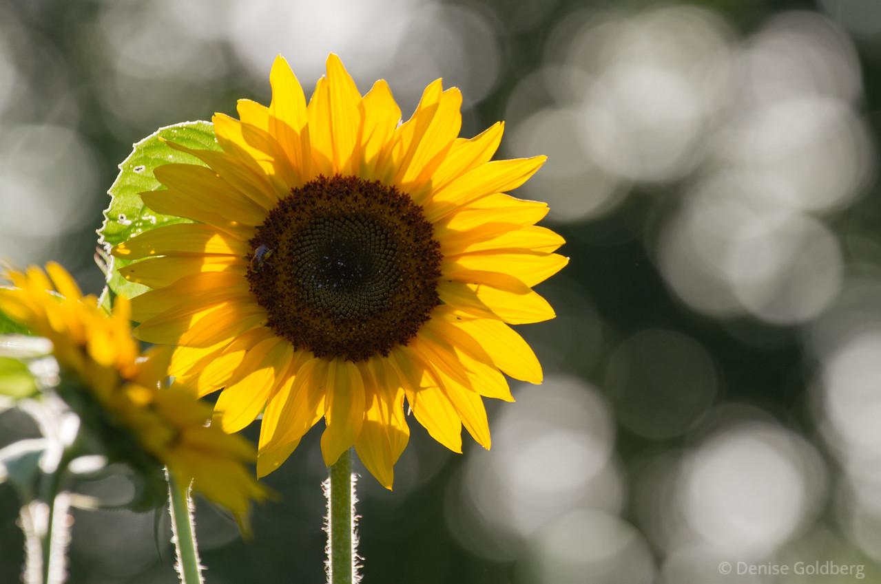sunlit sunflower