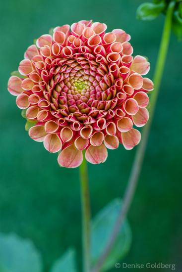 curled petals, dahlia