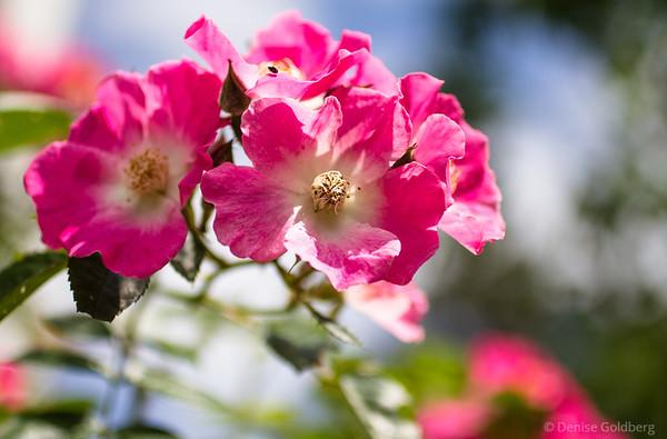 bright pink petals