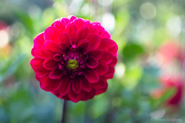 a portrait of a dahlia on a windy afternoon