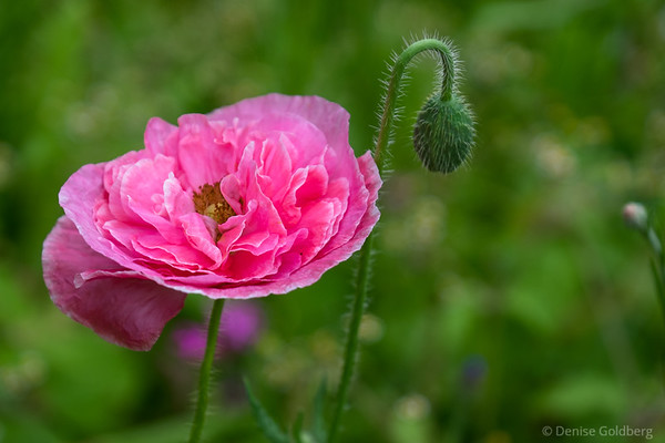 poppy in wildflower garden at Stevens-Coolidge Place