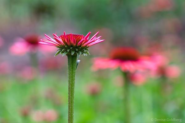 an opening flower
