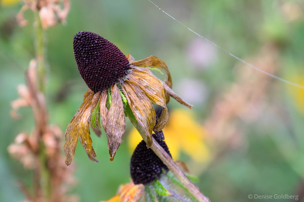 wilted, blackeyed susan