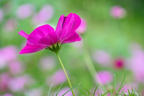 cosmos (flower)