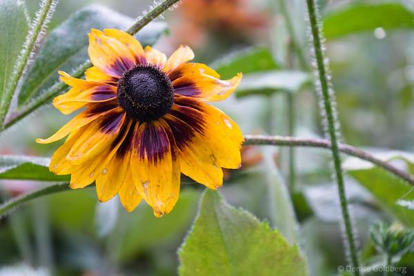 still in full bloom, gloriosa daisy