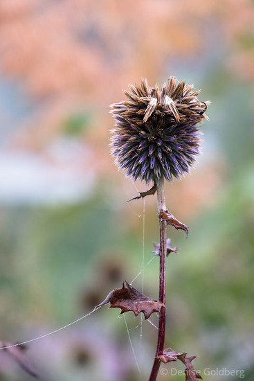 globe thistle, fading from purple to brown