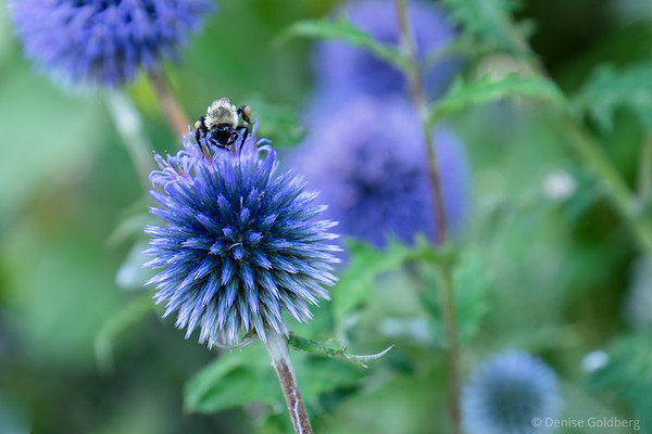a bee feeding on a globe thistle (echinops)