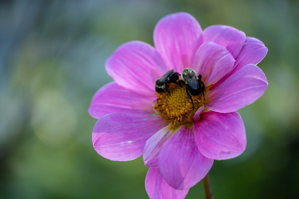 bees and a dahlia