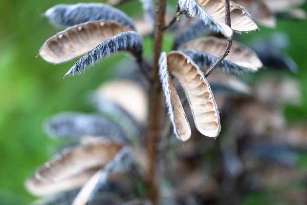 lupine seed pods