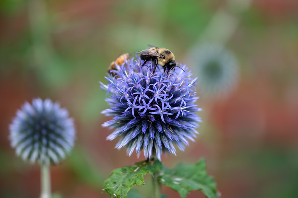 bees, enjoying echinops ritro