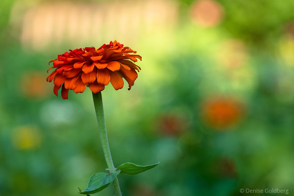 zinnia in orange