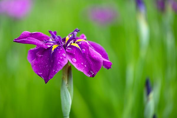 iris ensata, Japanese iris