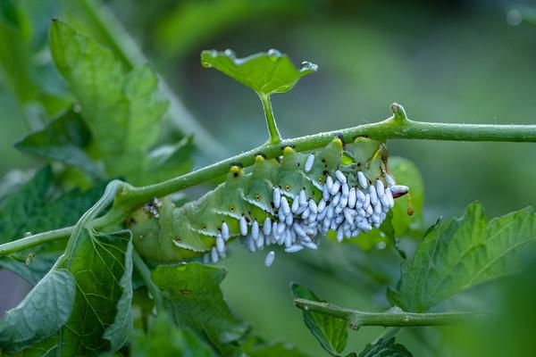 tomato hornworm & parasitic wasp