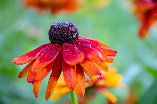 Cherokee Sunset Rudbeckia hirta