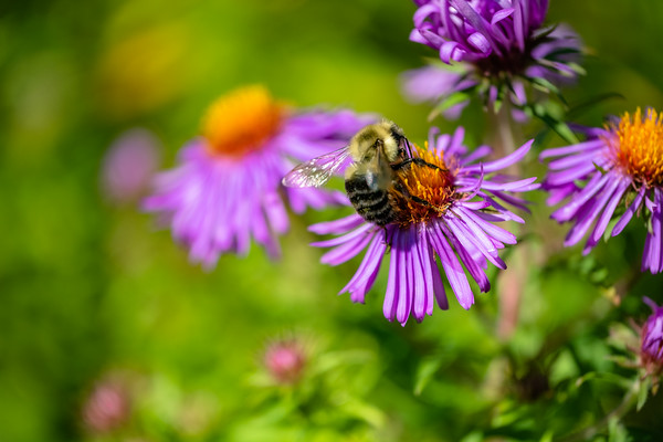 a bee feeding on an aster