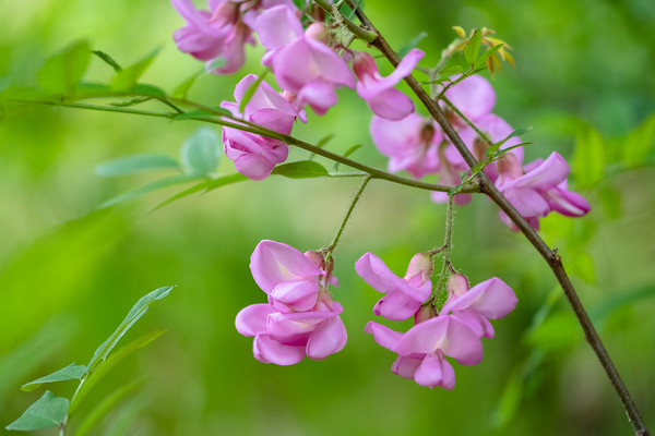 flowers on a Kelsey Locust tree
