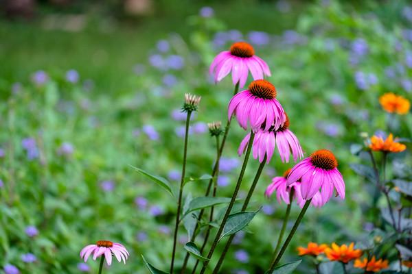 echinacea in bright pink