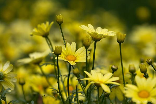 yellow, daisies