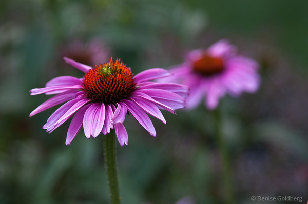 pink, cone flowers