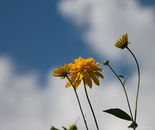 yellow flowers, blue sky