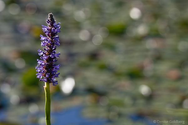 purple water flowers, glittering water