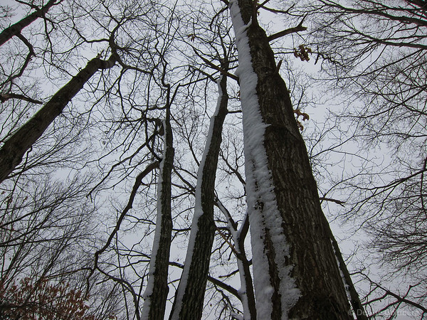 tree trunks coated with snow
