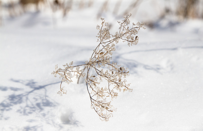 remnants of plants, in snow