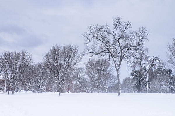 trees stand tall in blowing snow