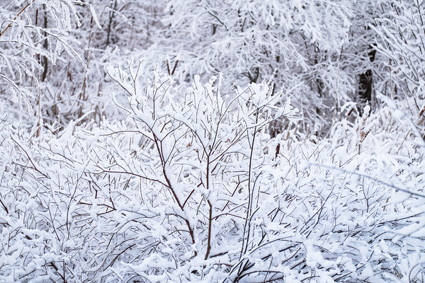 snow-coated branches