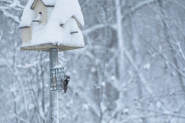 woodpecker in the snow