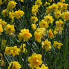 Daffodils are one of our favorite flowers.  I used to secretly stash a few at her work place in the Chem Lab at Cal.