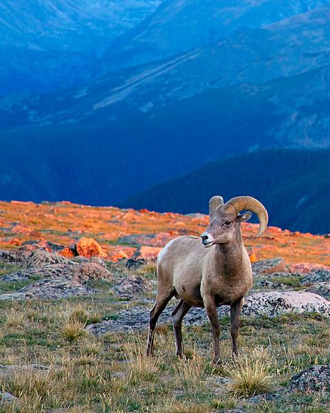 Bighorn Sheep, Rocky Mountain National Park, Colorado