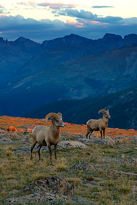 Bighorn Sheep, Rocky Mountain National Park, Colorado