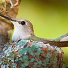 Hummingbird, Inks Lake State Park, Texas